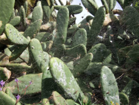 Fig. 2: Female cochineals spread on the surface of the cactus (image from Wikimedia Commons).